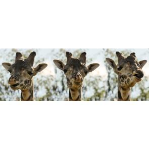 Üç Zürafa 3 Boyutlu Resimli Duvar Kağıdı Önizleme