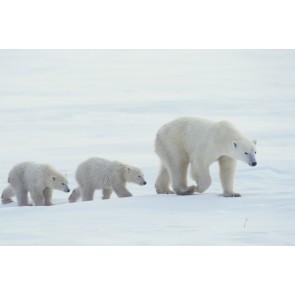 Aile Kutup Ayısı 3 Boyutlu Resimli Duvar Kağıdı Önizleme