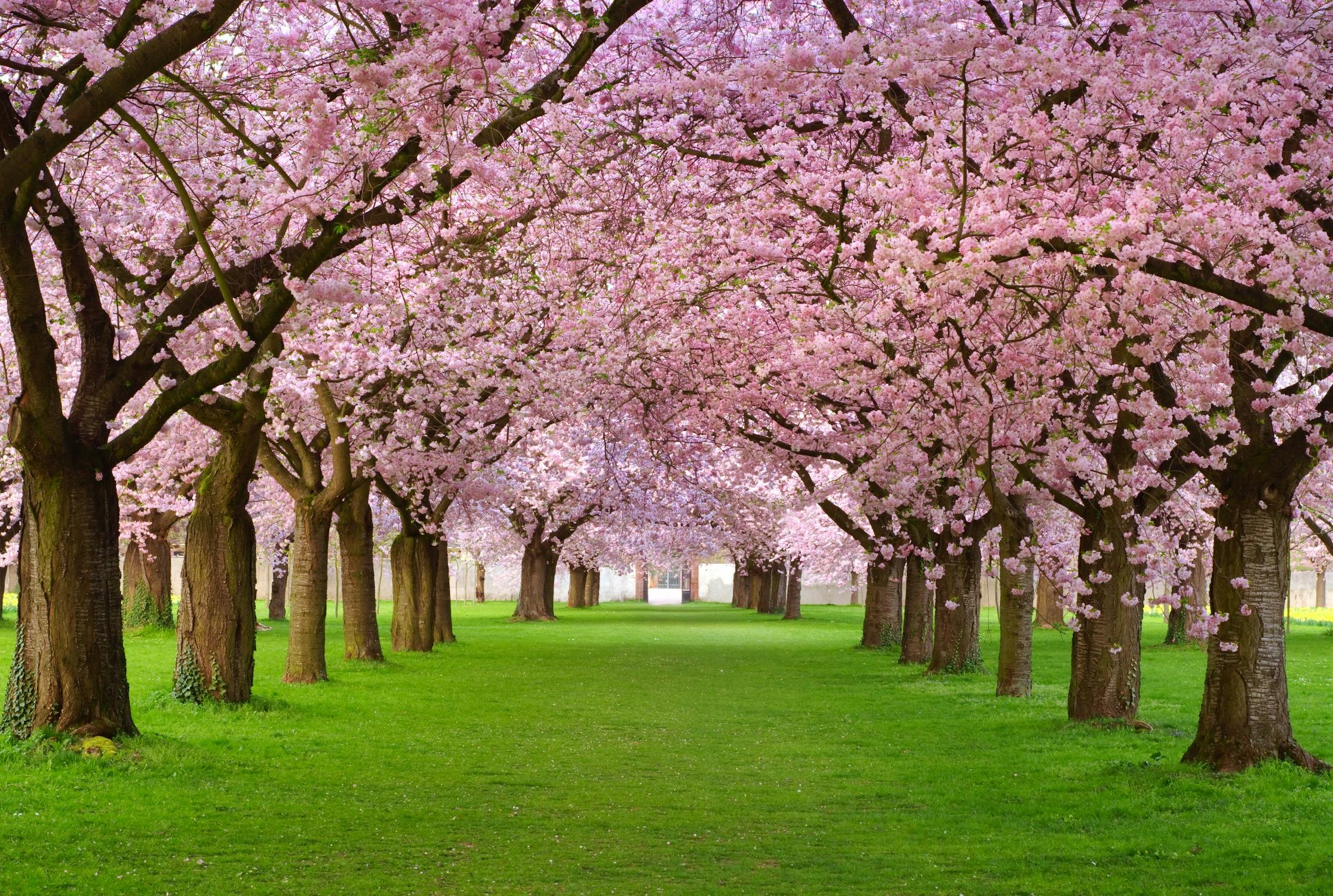Ağaçlar Çiçek Açtı Duvar Kağıdı
