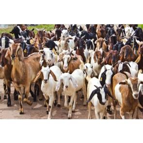İnatçı Keçiler